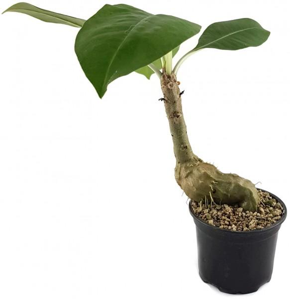 Myrmecodia tuberosa - Ameisenpflanze
