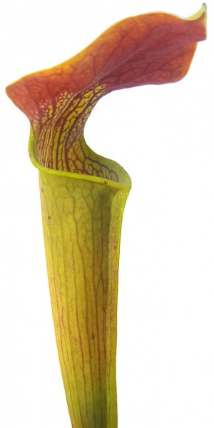 Sarracenia Alata var. rubrioperculata - Red Lid, Ex Mike Brooks