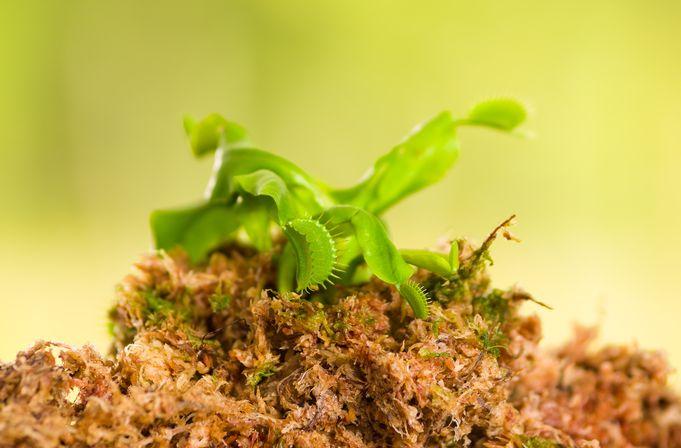 Venusfliegenfalle Aus Samen Selber Zuchten Fangblatt Karnivorenshop