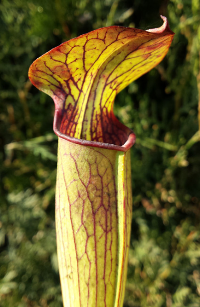 Sarracenia Alata - Stocky Copper Lid
