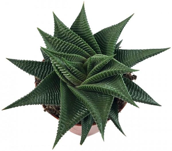 Haworthia limifolia 'Twister' - Spiral Aloe