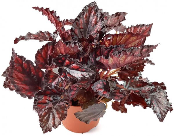 "Begonia ""Blood & Tears"" - Blutbegonie"
